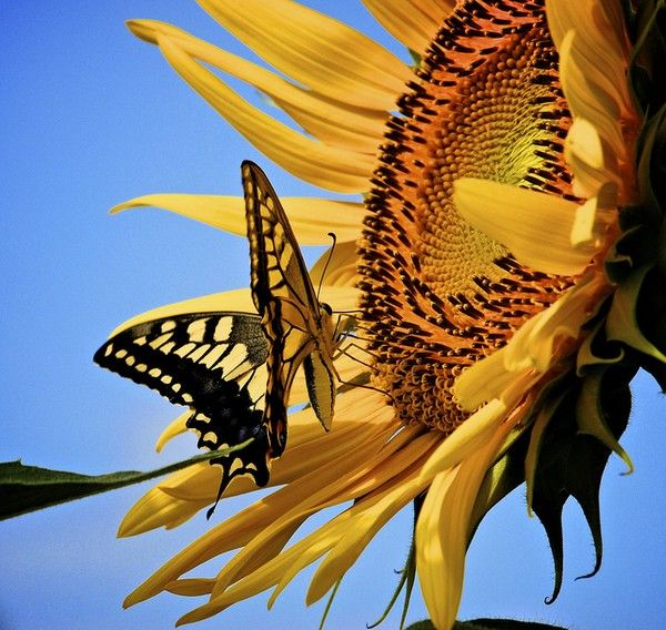 Sunflower and butterfly                                                                                                                                                                                 Plus