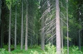 """En su origen la palabra """"taiga"""" hacía referencia a determinados bosques de coníferas rusos pero su uso se ha extendido y es frecuente designar"""