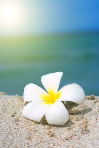 Tropical flower Plumeria on the beach
