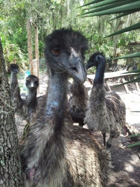 """I embarked my emu raising adventure a couple years ago. I wanted to hatch one so bad because they are """"cute,"""" however it is more than just cuteness that wa"""