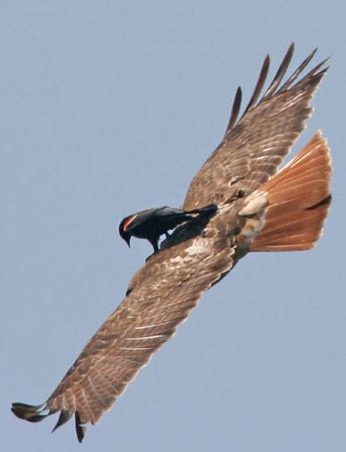 Red-Winged Blackbird hitching a ride on the back of a Red-Tailed Hawk  Photo by Ala Stankevitz  Wisconsin, USA: Birds Wings, Funny Animal Pictures, Hilarious Animal, Funny Animal Photo, Animal Videos, Baby Animal, Colors Birds, Funny Baby, Funny Pranks