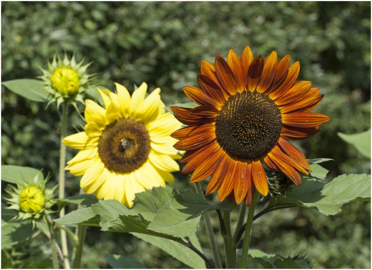 Sunflowers in Mary's Garden.