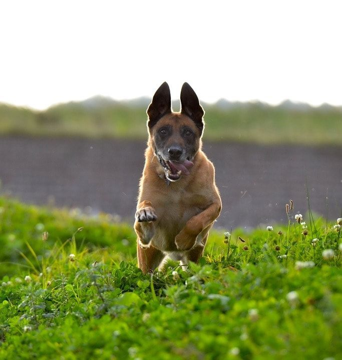 10 Pro Tips For Dog Training By Experts With Images Best Guard Dogs Dog Training Jumping Dog