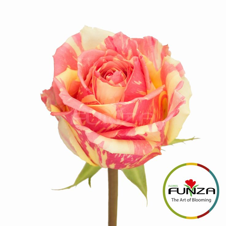 Bicolor Pink Rose from Flores Funza. Variety: Fiesta, Availability: Year-round