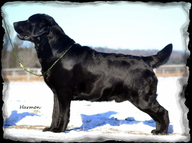 Startop Labradors Boys, Stud Dogs, Startop Labradors Available Adults,  older puppies, Labrador rescues, Labrador puppies, Labrador Retriever Puppies,  Labrador breeder Albany NY, Albany NY Labrador, Labrador litters, Champion  Labradors, Champion labrador Retrievers, Labrador breeder NY State, labrador  breeder New York, Labrador Stud service, Pucketts Super Charged