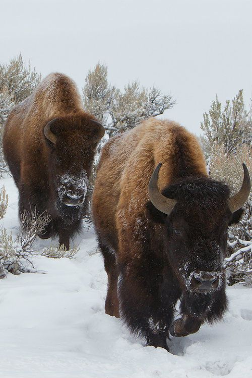 Bison cows trudge through the snow