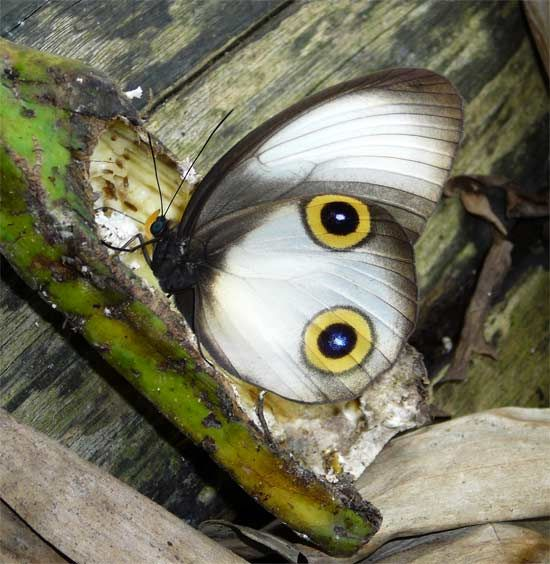 silky owl butterfly, Taenaris catops  Butterflies a treasure within our gardens