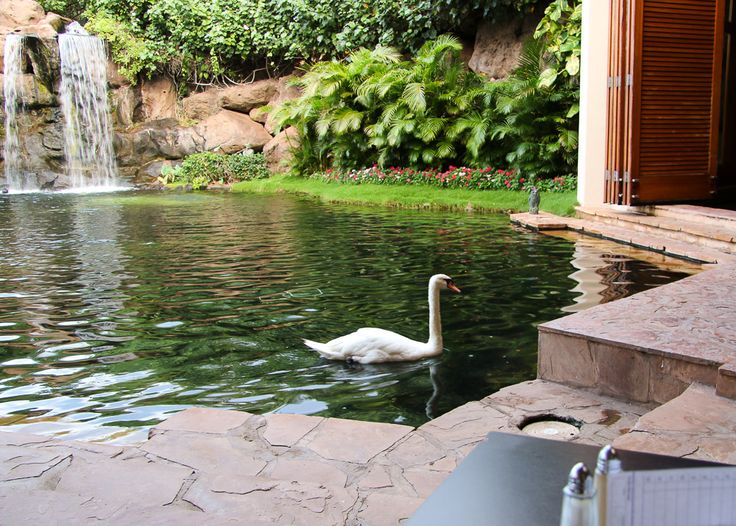 Eat breakfast with the swans (and other birds) at Hyatt Regency Maui Resort and Spa. The kids will love it.