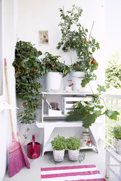 Instant white wash garden-balcony-tomato-strawberry stand + pot storage is made by stacking 2 sawhorse benches together