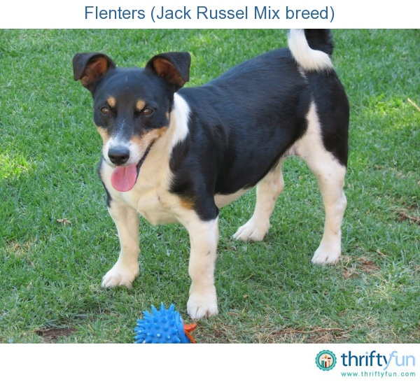 Photo of a male Jack Russel mix breed dog.