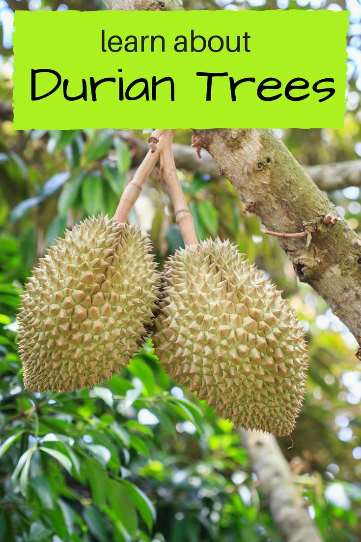 Durian Tree Fruit Information - Gardening Know How's Blog