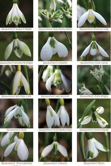 Snowdrop Varieties