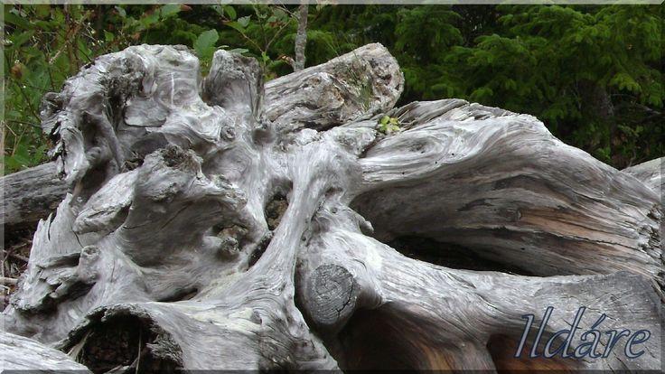 Uszadékfa, gyökértörzs