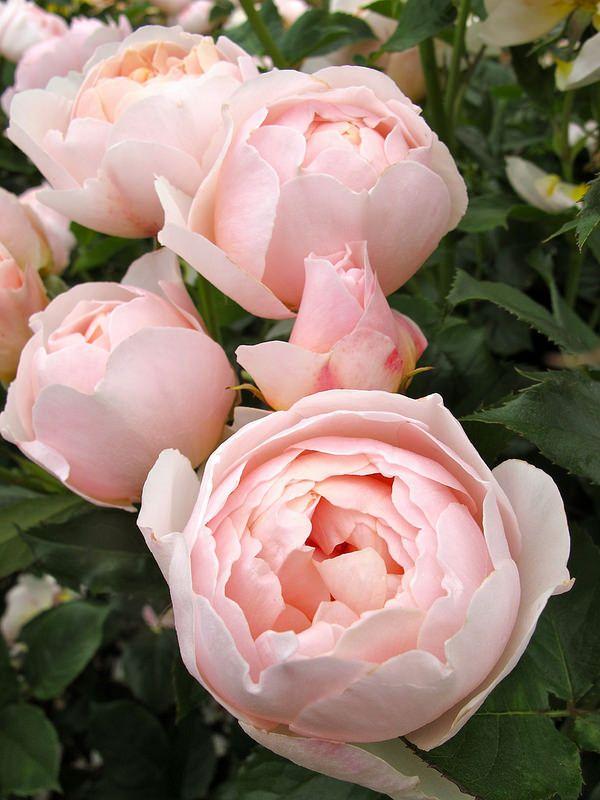 'The Shepherdess' rose