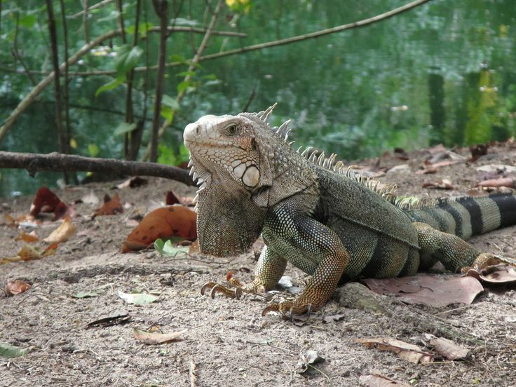 Iguana Puerto Rico Introduce, not native and not welcome. A problem for the natives.