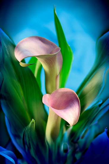 ~~Purple Calla Lilies by Sheryl Kasper~~