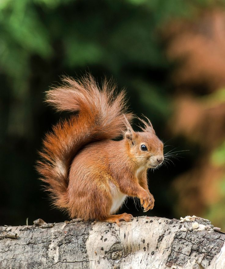 Red Squirrel by © Colin Langford
