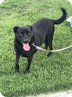 Pictures of Morgan a Labrador Retriever Mix for adoption in Burlington, NJ who needs a loving home.