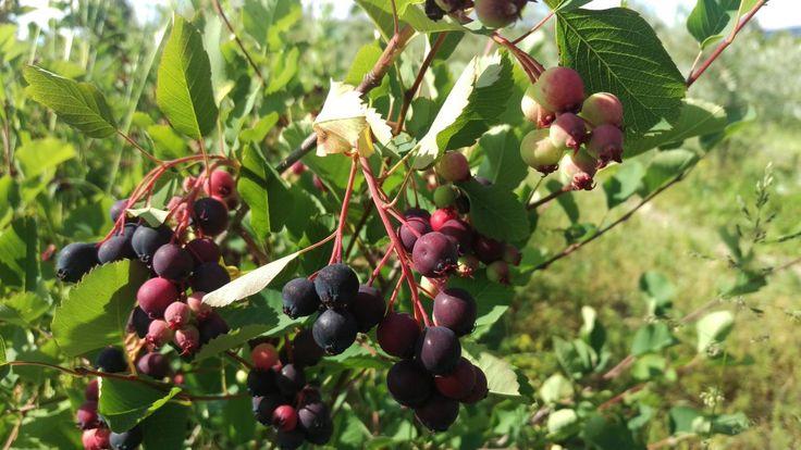 În ceea ce privește arbuștii fructiferi, fermierii caută acele soiuri care sunt capabile să dea o valoare maximă a exploatației respective, evident prin calitatea şi producția fructelor, iar consumatorul este întotdeauna interesat de o calitate ...