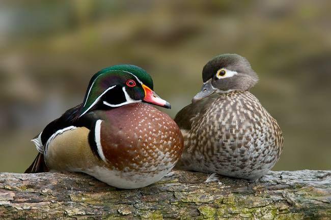 Wood Duck (Aix sponsa) couple by Michael Dossett   Duck ...