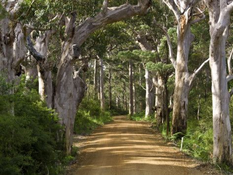 Avenue of Trees, West Cape Howe Np, Albany, Western Australia Photographic Print by Peter Adams at AllPosters.com