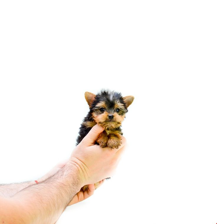 teacup yorkie for sale mn best 25 micro teacup dogs ideas on pinterest teacup 2735