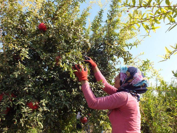 """Silifke'de nar hasadı başladı. Türkiye'de meyvelerin ilk hasadının yapıldığı ve ürün çeşitliliği dolayısıyla """"meyve bahçesi"""" olarak nitelendirilen Silifke ilçesinde, nar hasadı başladı."""