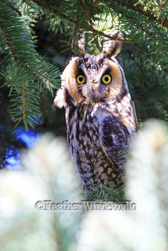 Long Eared Owl Print   Vertical Wall Art   Nature Decor   Tall Bird Pic   Raptor Photograph   Restaurant Art   FeatherWindStudio   Owl Photo by FeatherWindStudio on Etsy