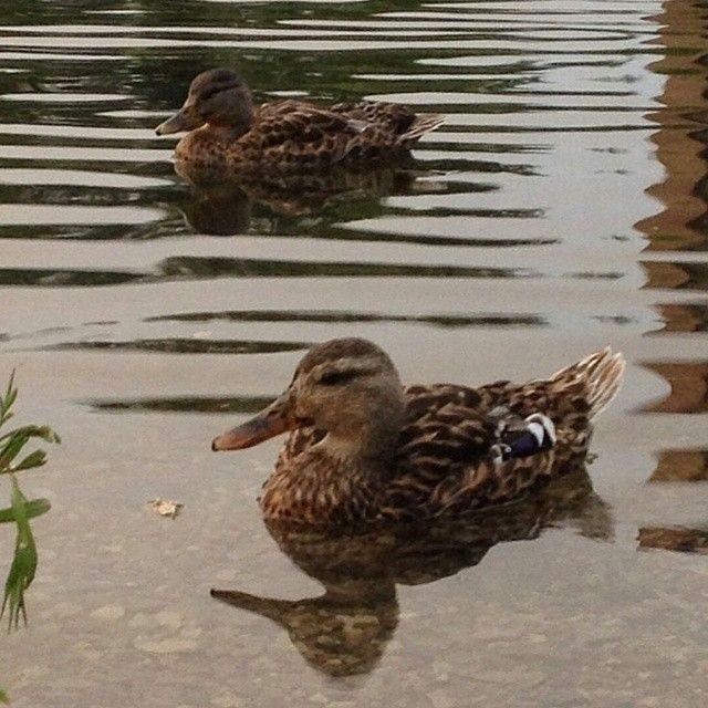 awwww #yorku #ducks