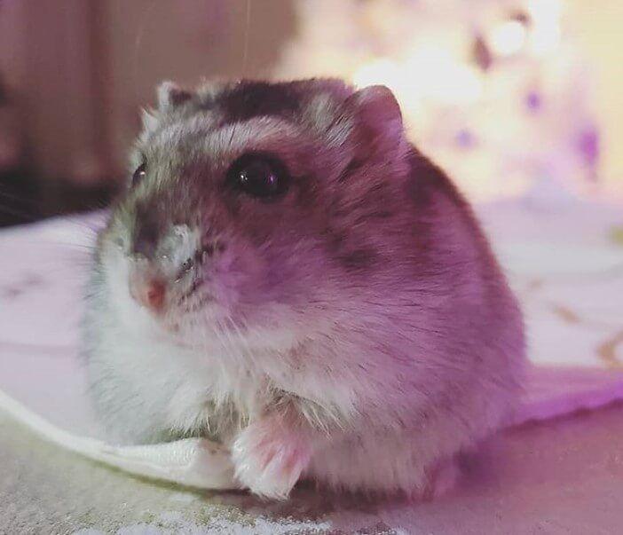 Female Hamster Names Over 300 Cute Girl Hamster Names