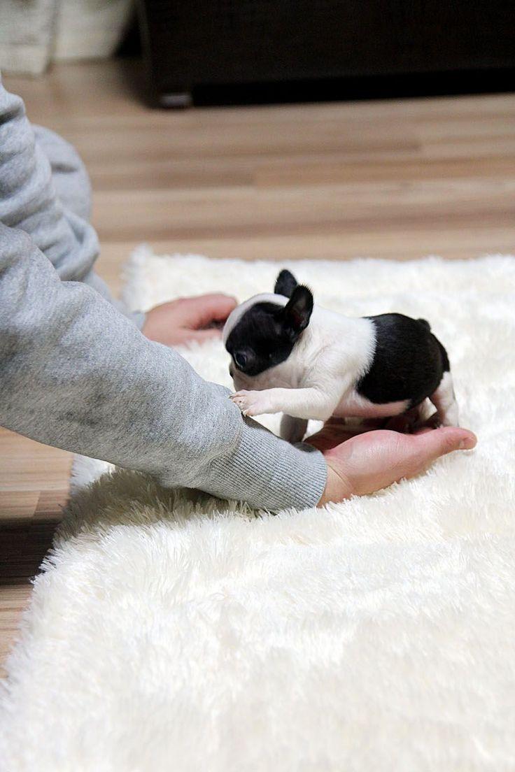 best 25 cute bulldog puppies ideas on pinterest bulldog puppies bull dog and english bulldog. Black Bedroom Furniture Sets. Home Design Ideas