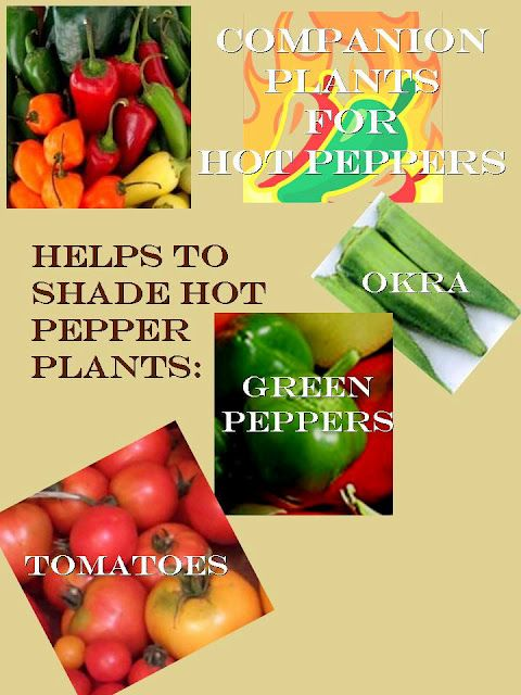 Companion Plants for Hot Peppers