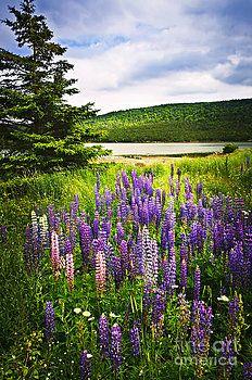 Elena Elisseeva - Lupin flowers in Newfoundland