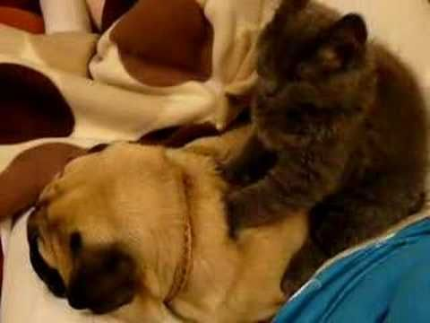 Toby the Pug gets a massage Part Two