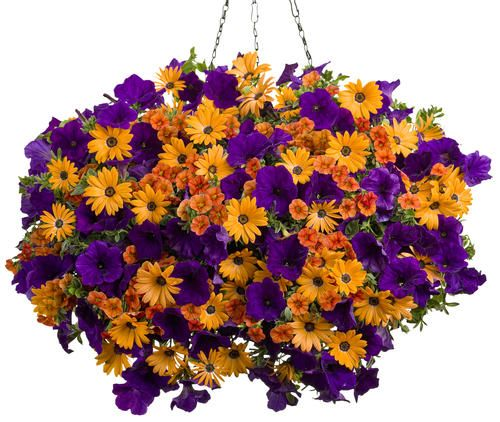 Proven Winner sunny hanging basket..Calibrachoa...Dreamsicle Osteospermum...Orange Symphony Supertunia...Royal Velvet