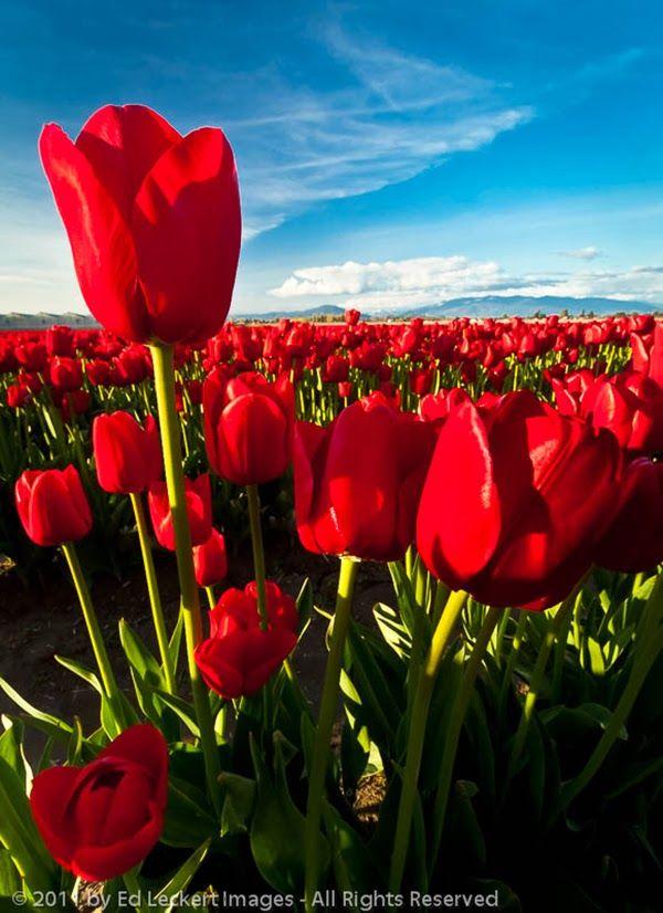 Blood Red Tulip Field Skagit Valley Mount