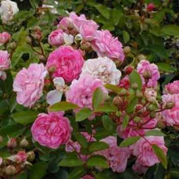 Suiter. Dwarf spreading bush with clusters of small double roses in soft shades of pink. This great little Polyantha is rarely without a flower in the warmer weather. Makes an excellent border or pot specimen. Continuous flowering. 0.50m x 0.60.