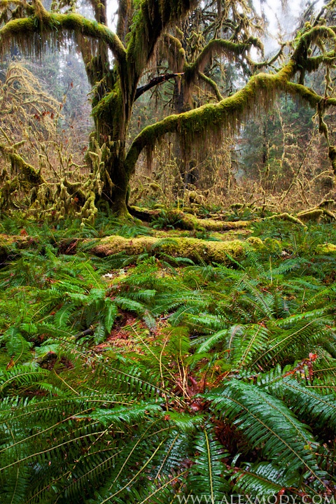 Hoh Rainforest, Olympic National Park, Washington - - - honestly so freaking beautiful here (STRONGLY SUGGESTED IF YOU LIKE HIKING IN OLD GROWTH), very long drive from Issaquah on a one day trip but Cody and I did it!