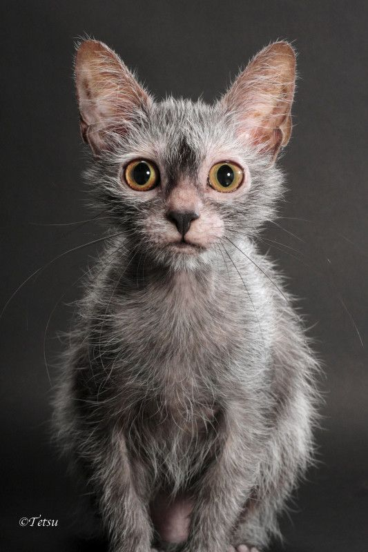 Lykoi kitten for sale, werewolf cats, wolf cats, natural mutation ... #wolfcat - Catsincare.com!