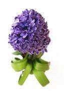 Jacinto, Flor, Violeta, Bloom, Primavera