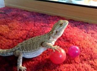 Toys for Bearded Dragons
