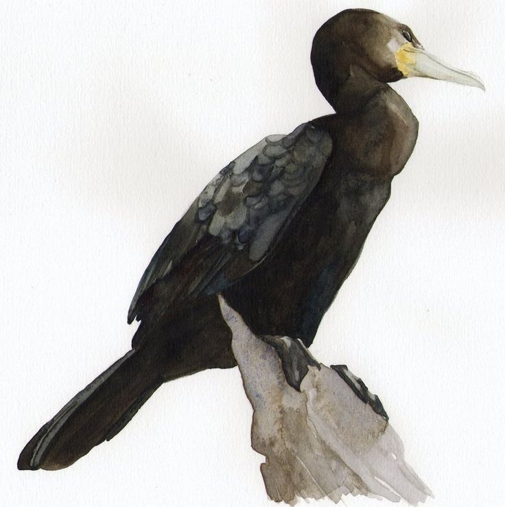 Great cormorant by Kameyo07 on DeviantArt