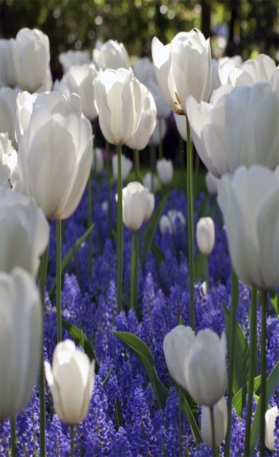 Tulips and Blue Grape Hyacinth