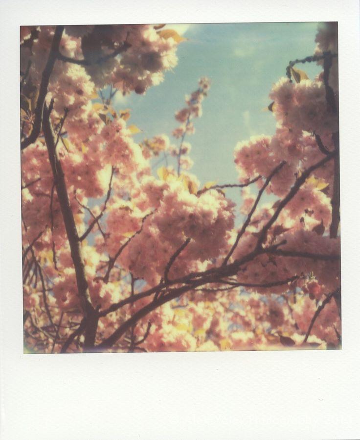 Alex Yates, Instant Bloom, Polaroid SX-70. Film photography, flowers,       Instant Bloom    Polaroid SX-70 on Impossible Project PX-70 Color Protection     Blog: Pinholista.com