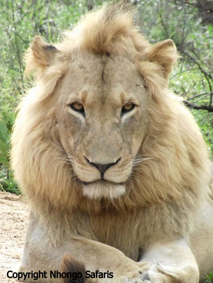 Nice male lion lying close to our open safari vehicle.