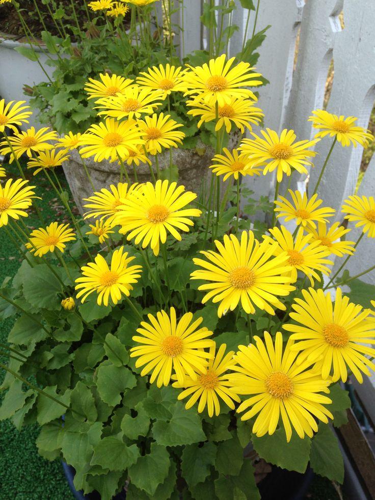 """Smågullkorg – Doronicum  """"Gul prestekrage"""". Vårblomstrende og hardfør staude som trives like godt i sol som i skygge. Cirka 35 cm høy. Tåler skygge"""