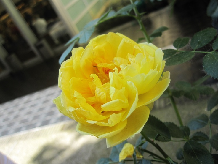 Italian yellow rose
