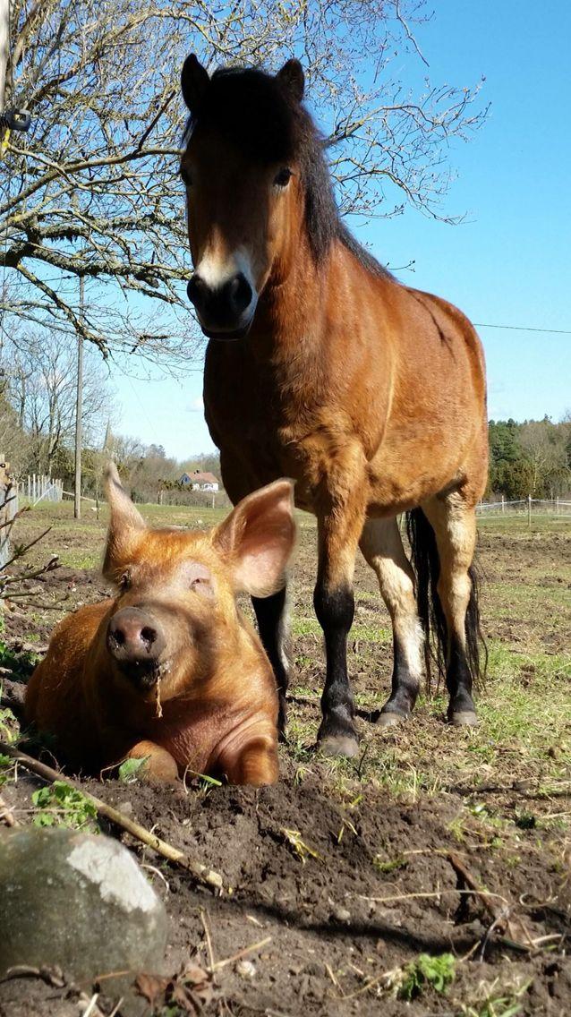 ... Horses on Pinterest | War horses, Icelandic horse and Show horses