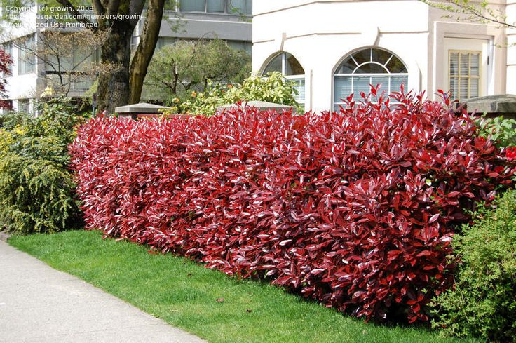 Another great landscaping bush: the Red-Tipped Photinia.
