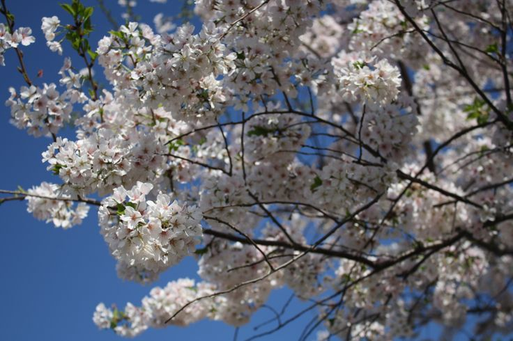 29 Best Flowering Spring Trees Images On Pinterest